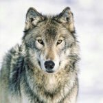 Live with Wolves instagram profile pic